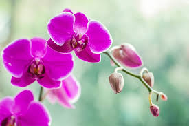 Orchid Meaning and Symbolism - FTD.com