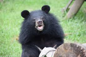 Circus trauma left moon bear cub Sugar too scared to eat, but in ...
